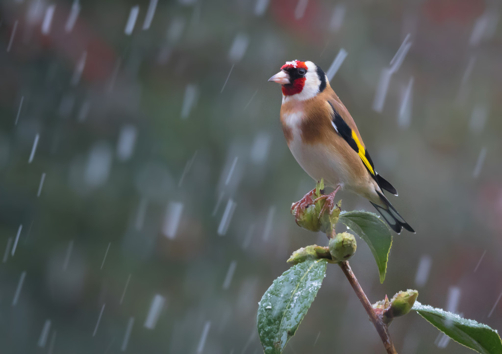 Still snowing on this Goldfinch by shepherdmanswife