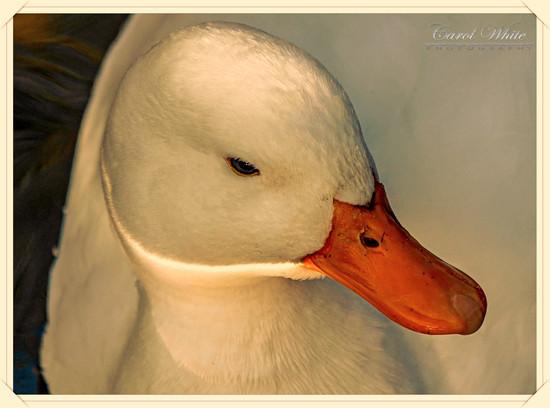Little White Duck by carolmw