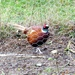 A Pheasant!!!! At My New House!!!