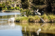 22nd Jan 2018 - Pelican Island
