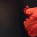 Scalloped petal