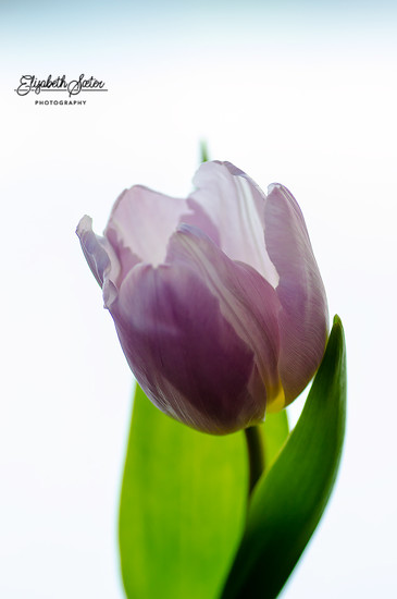 Light purple tulip by elisasaeter