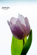 23rd Jan 2018 - Light purple tulip
