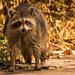 Swamp Raccoon!