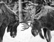 16th Jan 2018 - Adolescent Moose Practicing B and W Cropped
