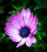 24th Jan 2018 - Liquorice Allsort Flower