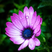 Liquorice Allsort Flower by dorsethelen