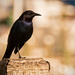 Another Grackle, I think! by rickster549