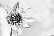 25th Jan 2018 - Black and white flower