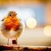 Friendly Robin by swillinbillyflynn