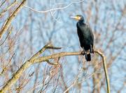 25th Jan 2018 - Cormorant in a tree