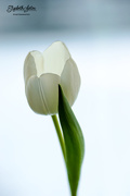 25th Jan 2018 - White tulip