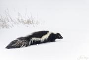 26th Jan 2018 - skunk