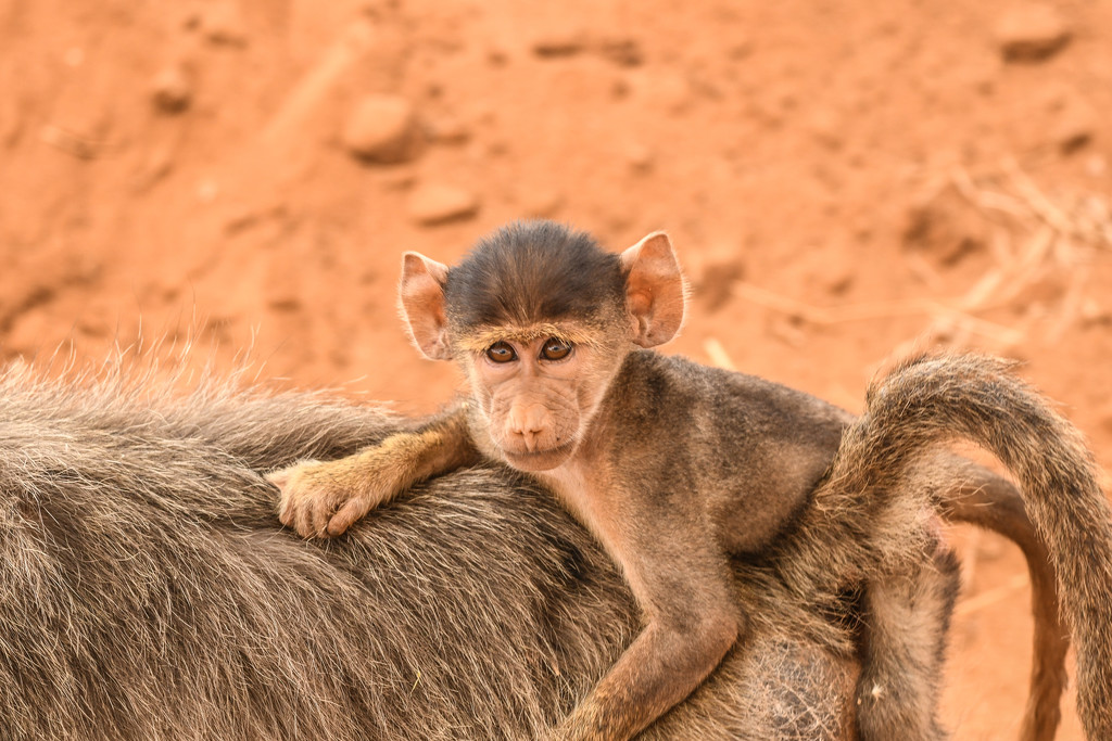 Baby Baboon in the Wild by kareenking