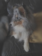 26th Jan 2018 - Tilt Shift Sheltie