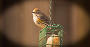 26th Jan 2018 - Different Bird on the Suet!