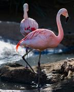 26th Jan 2018 - Flamingo Friday '18 04