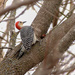 Red-bellied Woodpecker by fntngrma