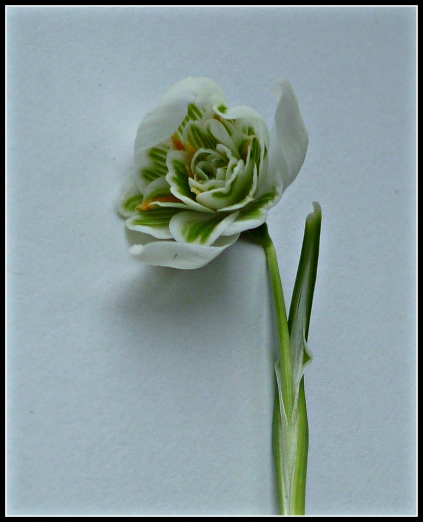Clutching at Snowdrops  by countrylassie