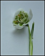 27th Jan 2018 - Clutching at Snowdrops