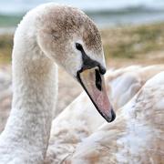 27th Jan 2018 - Swan