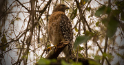 27th Jan 2018 - Mean Ole Red Shouldered Hawk!