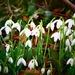 Buslingthorpe Snowdrops by carole_sandford