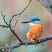 Kingfisher admiring budding tree by padlock