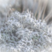 Silver Ragwort by haskar