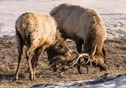 28th Jan 2018 - Roosevelt Elk Practicing