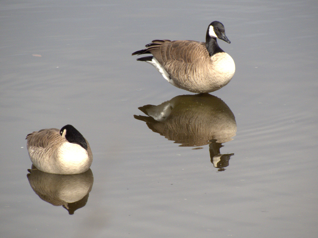 reflections geese by janewinfrey