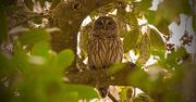 28th Jan 2018 - Very Calm Owl!