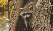 28th Jan 2018 - Rocky Raccoon Gettiing Ready to Come Down!