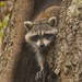 Rocky Raccoon Gettiing Ready to Come Down! by rickster549
