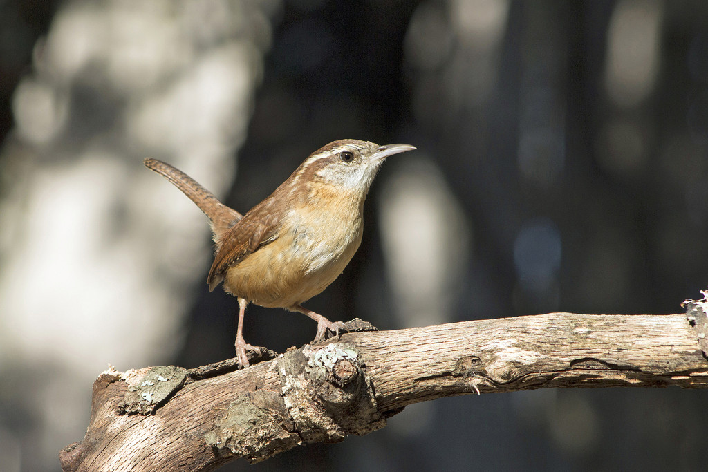 Sunny Day Wren by gaylewood