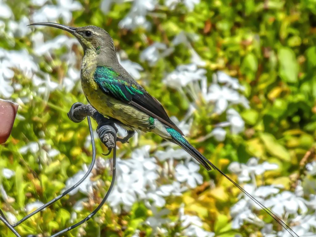 A Malachite Sunbird ....... by ludwigsdiana