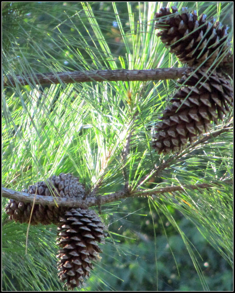 Pine Cones by 777margo