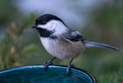 28th Jan 2018 - Chickadee