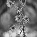 old flora
