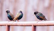 28th Jan 2018 - starlings