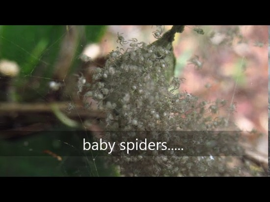 30th Jan 2018 - baby spiders