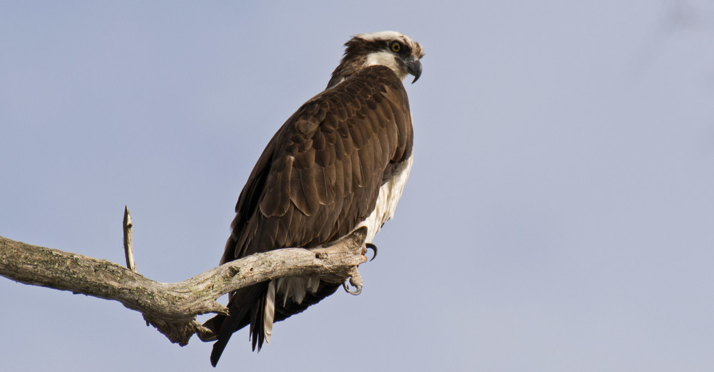 Osprey Looking Over it's Territory! by rickster549