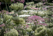 30th Jan 2018 - Queen Anne's Lace