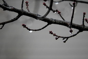 28th Jan 2018 - Twigs and raindrops