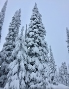 27th Jan 2018 - Snowy Trees at Red