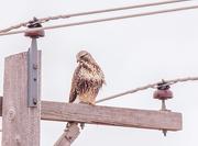 29th Jan 2018 - rough-legged hawk
