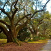 Live oaks, Magnolia Gardens, Charleston, SC by congaree
