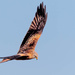 Red Kite flying towards me by padlock