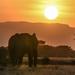 Elephant in Setting Sun by kareenking