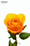 30th Jan 2018 - Yellow rose